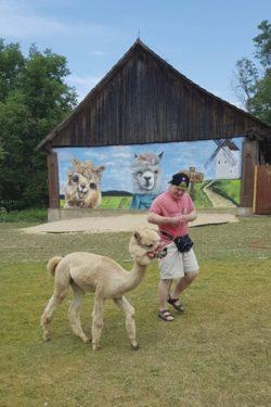 Chłopiec spaceruje z alpaką.